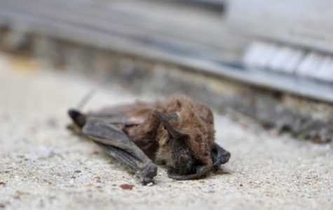 An unfortunate casualty, this bat was found dead by the east entrance and reported to admin for removal.